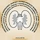 Udruženje ljekara za nefrologiju, dijalizu i transplataciju bubrega u BiH Logo